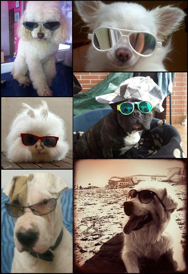 mascotas con gafas de sol